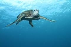 绿色夏威夷海龟 免版税库存照片