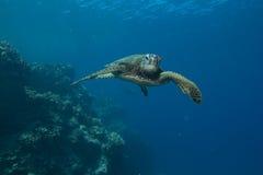 绿色夏威夷海龟 免版税库存图片
