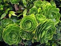 绿色多汁植物永世arboreum 免版税库存照片