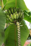 绿色大叶子和未成熟的束香蕉 库存照片