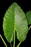 绿色大叶子 免版税库存图片