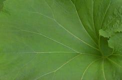 绿色大叶子 库存照片