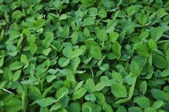 绿色大豆植物 图库摄影