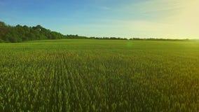 绿色大麦领域在夏日 麦田绿色 领域天线 股票视频