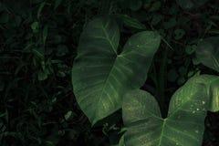 绿色天南星科叶子 免版税库存图片