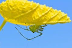 绿色天猫座蜘蛛, Peucetia viridans 库存图片