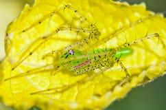 绿色天猫座蜘蛛, Peucetia viridans 免版税库存照片