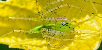 绿色天猫座蜘蛛, Peucetia viridans 免版税库存图片