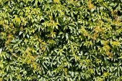 绿色套期交易背景或墙纸。 免版税库存照片