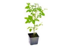 绿色室内塑料罐蕃茄 免版税库存图片