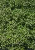 绿色导致美好的纹理的树叶子大树枝鸟瞰图  库存图片