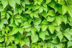 绿色小叶子的样式, design_的背景 免版税图库摄影