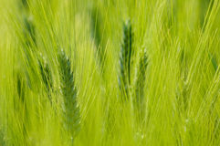 绿色小尖峰麦子 免版税库存图片