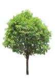 绿色小的结构树 免版税库存照片
