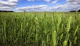 绿色小黑麦 免版税图库摄影