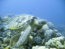 绿色少见海龟 免版税库存照片