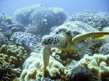 绿色少见海龟 图库摄影