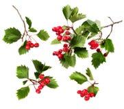绿色山楂树分支红色浆果 免版税库存图片
