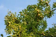 绿色巴特利特梨或生长在洋梨树的威廉斯梨 免版税库存照片