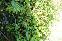绿色布什红色花金属蜂鸟 免版税库存照片