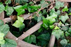 绿色常春藤和打破的木轮子 免版税库存图片