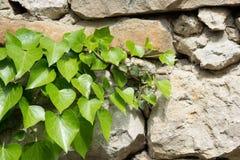 绿色常春藤在一个白色石墙上生叶 库存照片