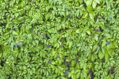 绿色常春藤墙壁纹理喜欢庭院无缝的灌木篱芭样式 库存图片