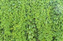 绿色常春藤植物墙壁纹理喜欢庭院无缝的灌木篱芭 免版税库存图片