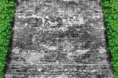 绿色常春藤爬行物和B&W砖墙 库存图片