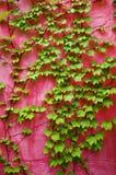 绿色常春藤粉红色墙壁 免版税库存图片