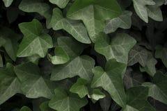 绿色常春藤 平的位置 背景蓝色云彩调遣草绿色本质天空空白小束 免版税库存照片