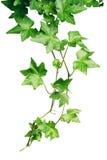 绿色常春藤