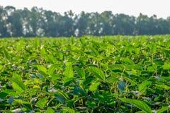 绿色年轻大豆的领域 晴朗日的夏天 免版税图库摄影