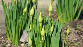 绿色年轻未打开的郁金香增长出于地面 股票视频