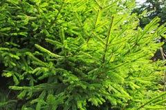 绿色年轻毛皮树 免版税库存照片