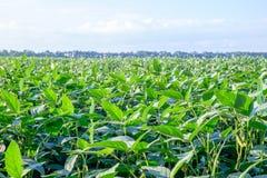 绿色年轻生长大豆的领域 特写镜头非常eyedroppers高分辨率视图 免版税库存照片