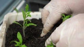 绿色幼木在地面被种植自一间温室用手套的手 r 耕种和选择  股票录像