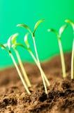 绿色幼木-新的寿命的概念 库存图片