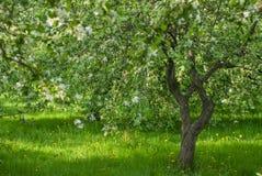 绿色开花苹果树果树园 免版税库存图片