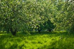 绿色开花苹果树果树园 库存图片