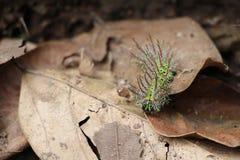 绿色异乎寻常的毛虫上升在事假的-马塔加尔帕Nicaraguaeave -马塔加尔帕尼加拉瓜 库存图片