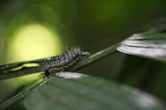 绿色异乎寻常的毛虫上升在事假的-马塔加尔帕Nicaraguaeave -马塔加尔帕尼加拉瓜 免版税库存照片