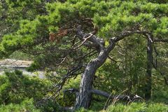 绿色弯曲处杉树 库存照片