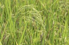 绿色很快稻田并且是由种子收获决定 库存图片