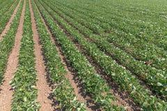 绿色成熟的大豆领域 毛豆行  大豆planta 免版税库存照片