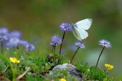 绿色成脉络的白色皮利斯napi蝴蝶哺养的花蜜的特写镜头从一朵俏丽的花的在奥地利阿尔卑斯 免版税库存图片