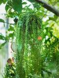 绿色戴维罐,在花盆的美丽的常春藤 图库摄影