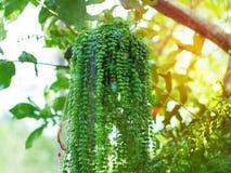 绿色戴维罐,在花盆的美丽的常春藤 库存图片