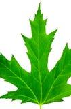 绿色接近查出的叶子槭树 库存图片