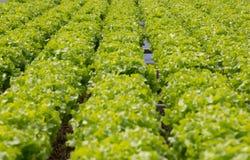 绿色散叶莴苣有机农厂农业行沙拉食物的 免版税库存照片